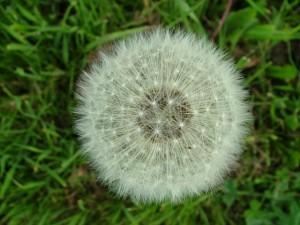 Eine Pusteblume im Gras